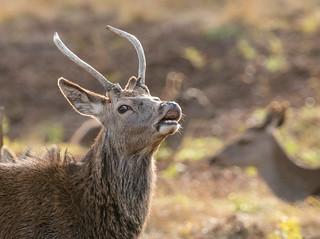 red deer tasting the air 068__575