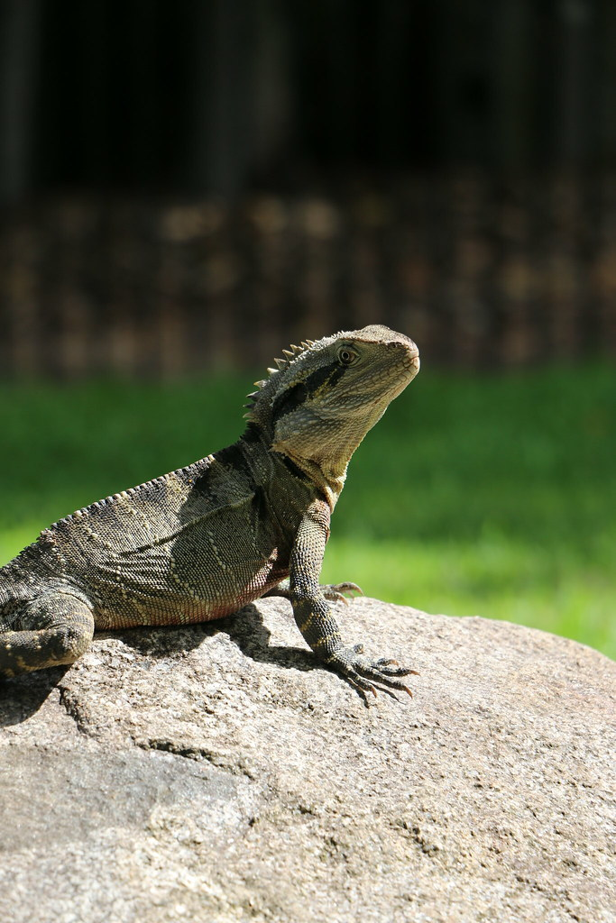 Lizard - Australia Zoo