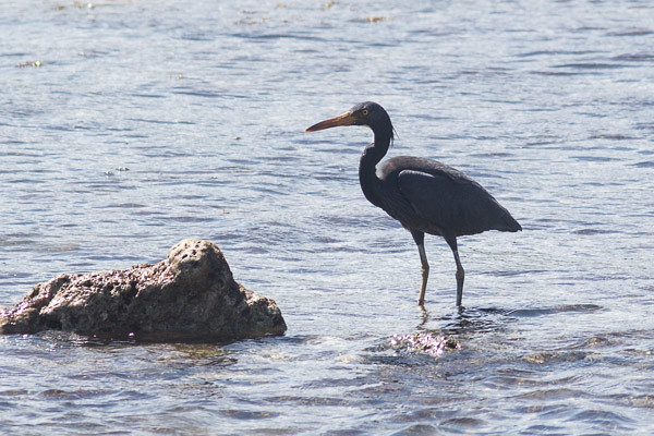 Eastern Reef Egret, dark morph