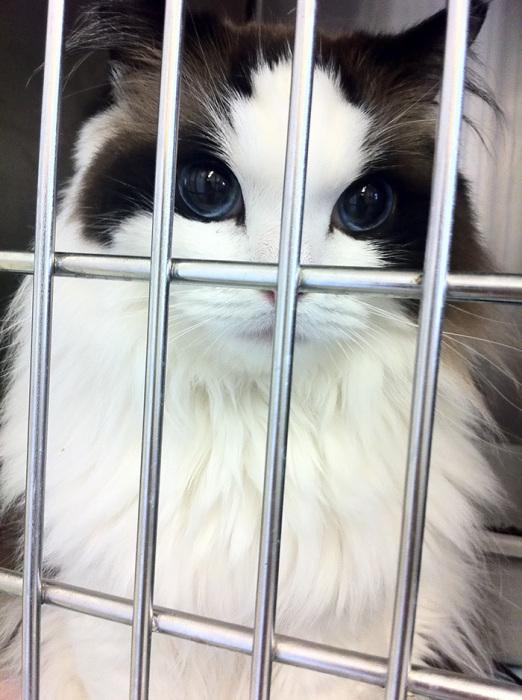 Прекрасная кошка породы рэгдолл - ПоЗиТиФфЧиК - сайт позитивного настроения!