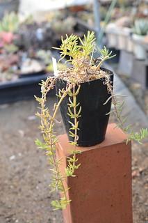 DSC_4369 Drosanthemum marinum  ドロサンテマム マリナム
