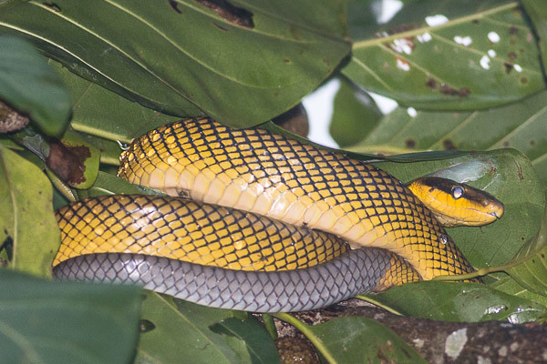 Grey-Tailed Racer