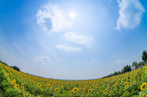 夏空とひまわり畑