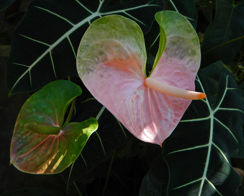 Little Boy Plant (Anthurium) at the Puerto Vallarta Botanical Garden on the Pacific coast of Mexico