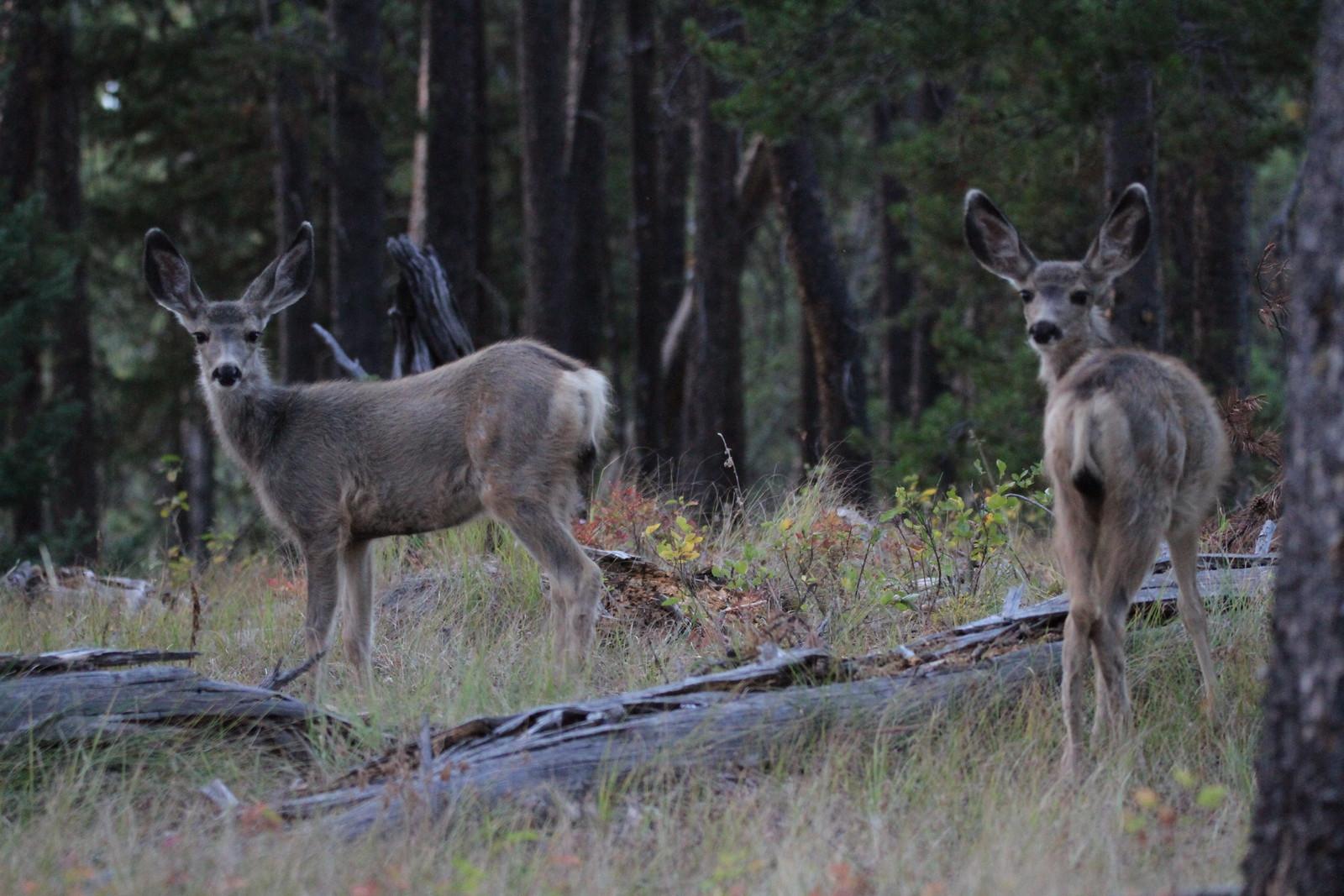 deer IMG_9989