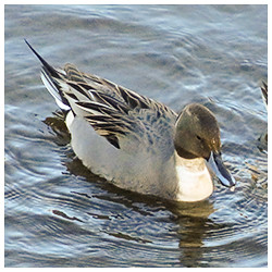 Northern pintail. Male