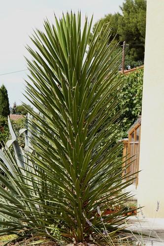 Yucca filifera 14549648379_ea4d198a63