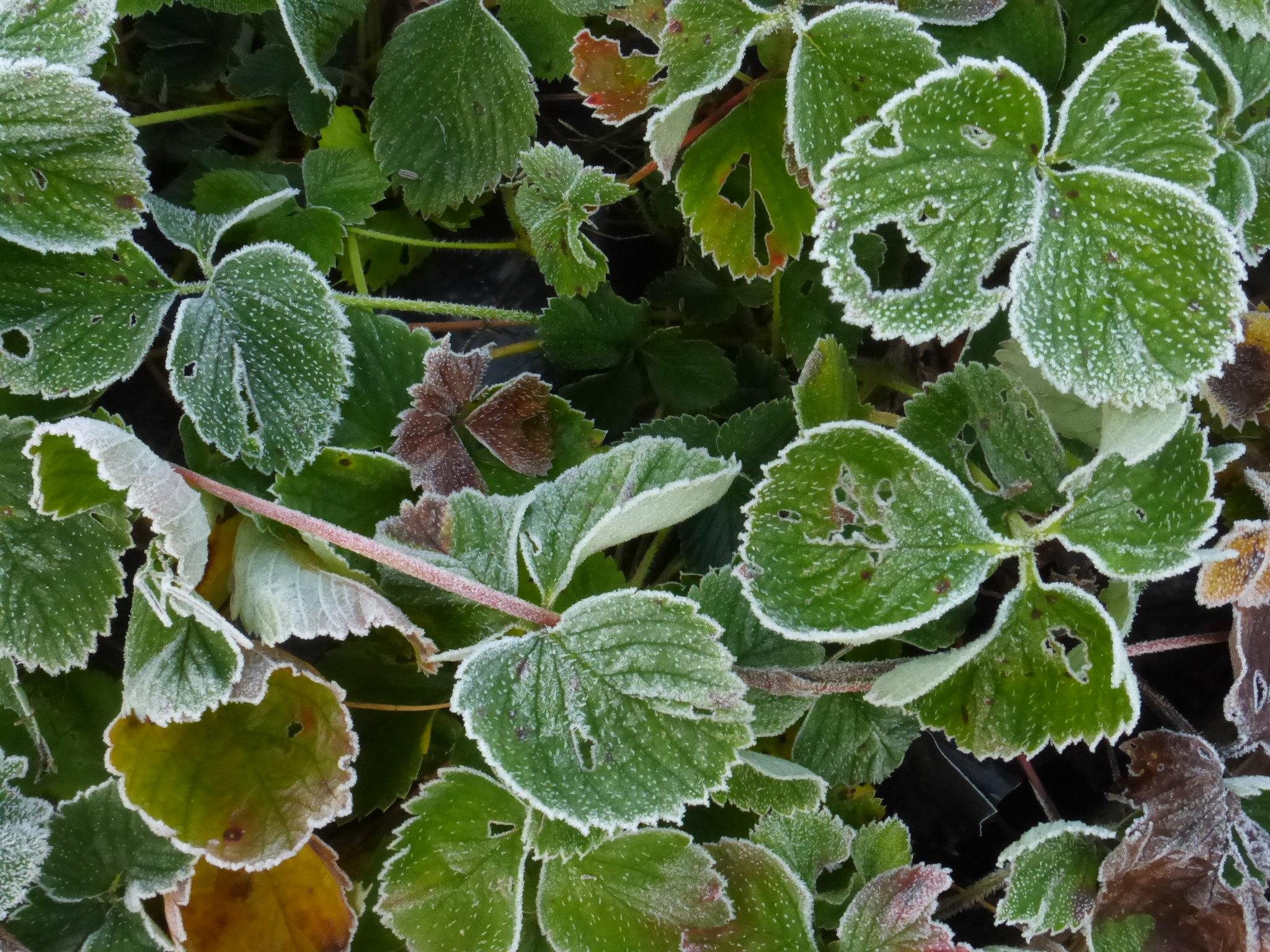 third hard frost