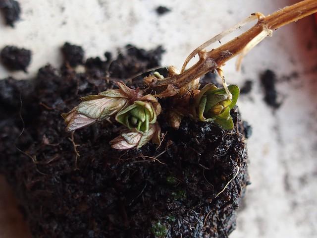 Tendrils: Hablitzia tamnoides shoots