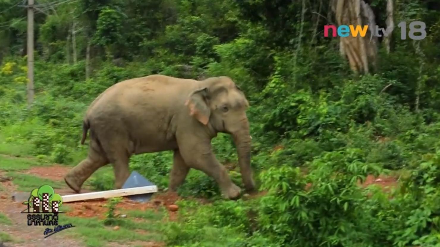 ธรรมชาติมาหานคร : ช้างป่าแก่งกระจาน การจัดการอย่างมีส่วนร่วม