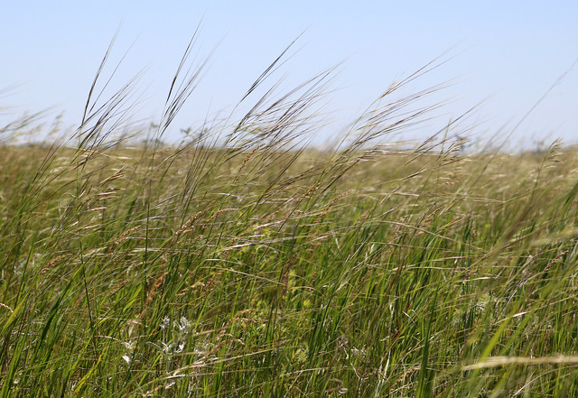 tall, thin grasses blowing to the right in the wind