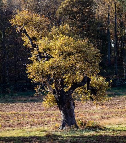 veteran oak tree 068__279