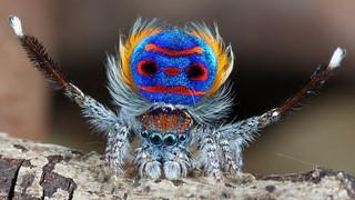 Maratus (Peacock Spider)