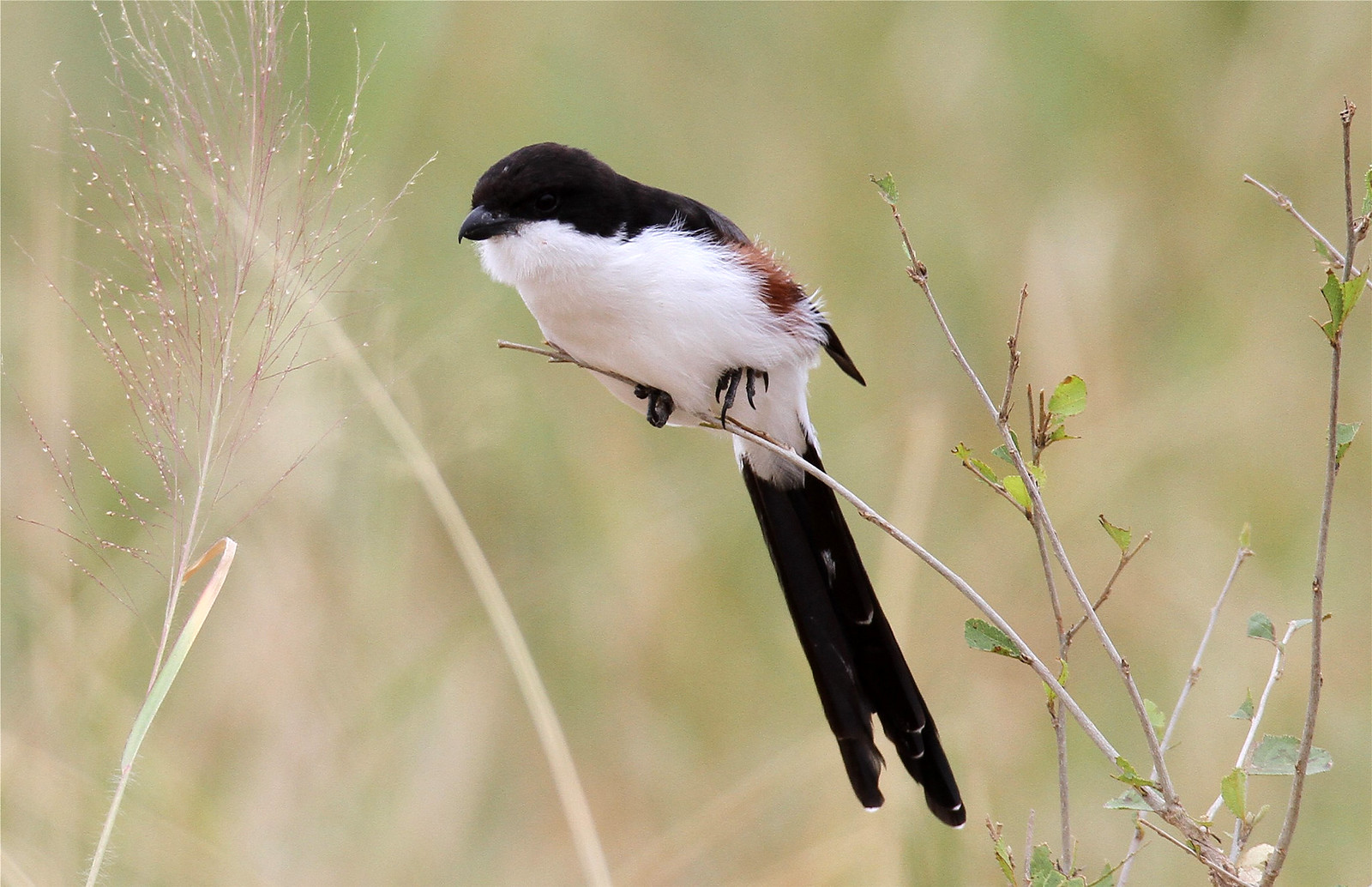 Lanius cabanisi ♀ (Long-tailed Fiscal)