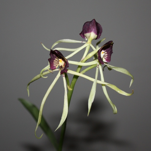 Anacheilium cochleata blooms