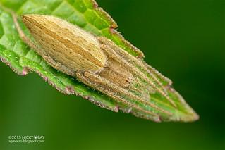 Orb weaver spider (Eustala sp.) - DSC_7653