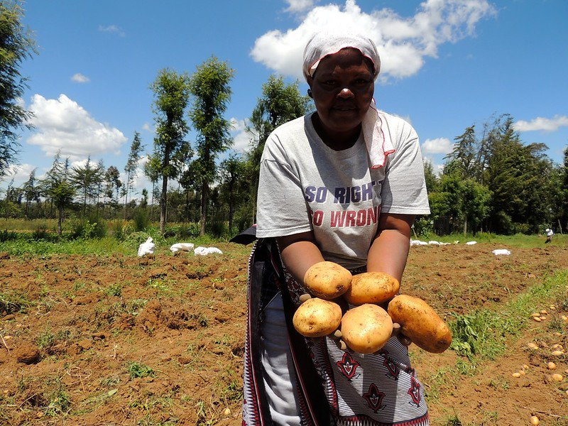 Potato Harvesting in Kenya 2015