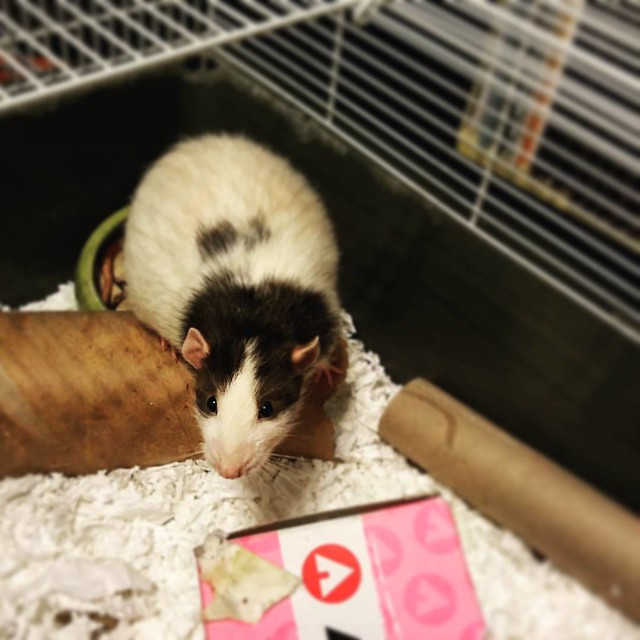 The cage is OPEN!! #rats #ratsofinstagram #petsofinstagram #pets #animals #adorable #stig #potatoes @teaghan_r
