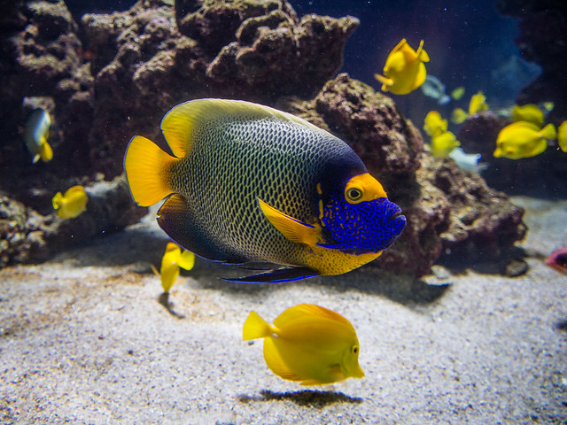 Bueface angelfish