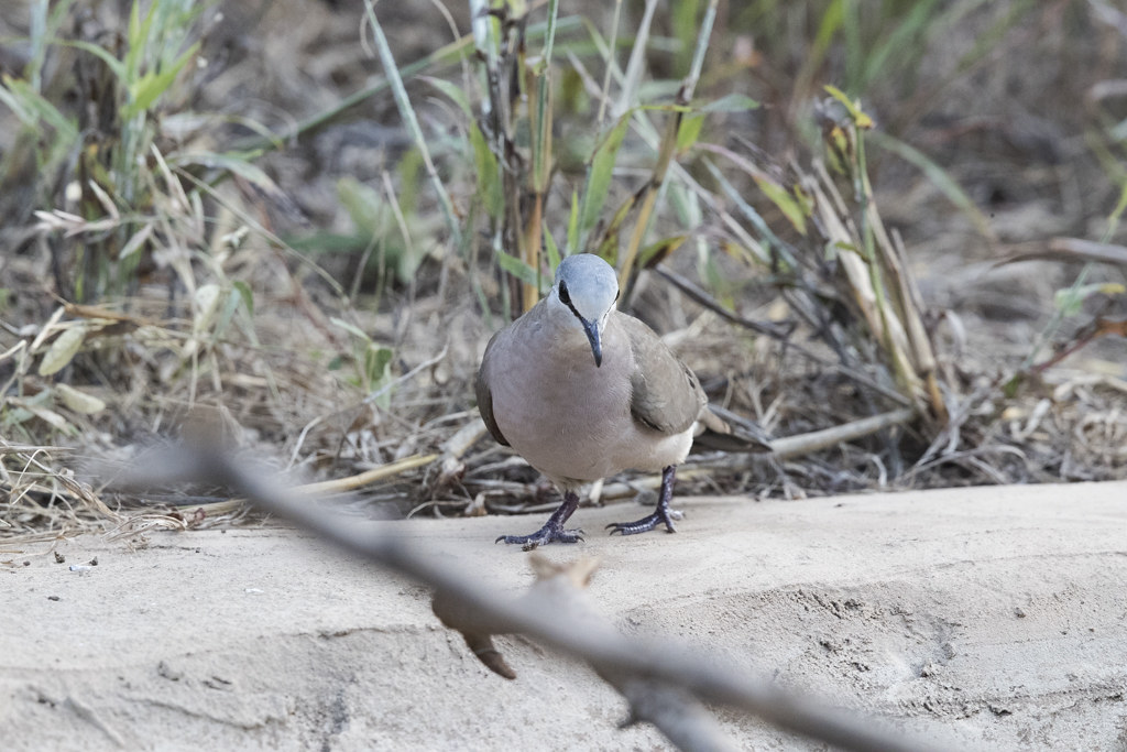 Black-billed Wood Dove   The Gambia 2016