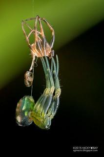 Orb weaver spider (Araneus perpolitus) - DSC_9755