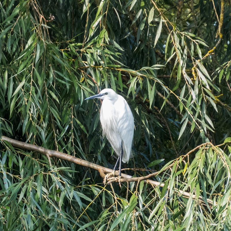 Little Egret perched in the tree watching us