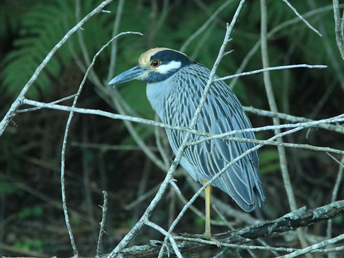 Yellow-crowned Night-Heron 20161130