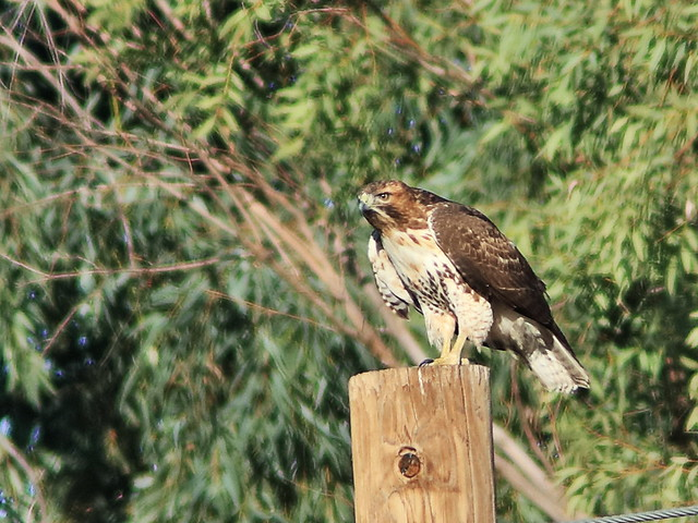 Red-tailed Hawk 02-20161103