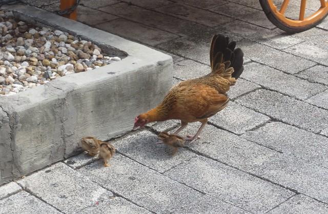Chicks in Key West