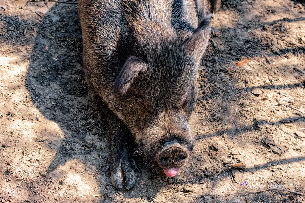 Sweet sleep of wild boar