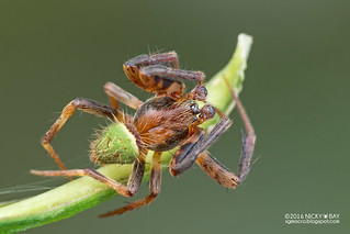 Orb weaver spider (Neoscona sp.) - DSC_5725