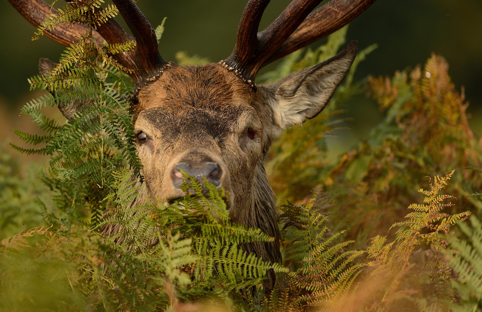"""The Terminator"" - Red Deer Stag"