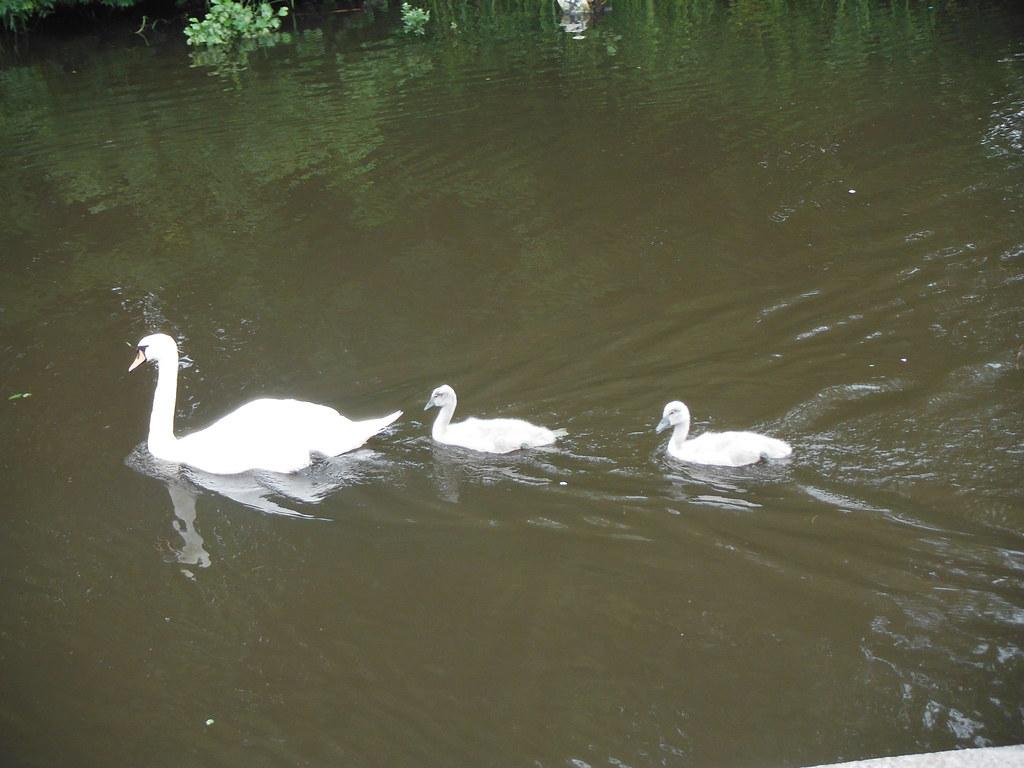 Swan Family 5