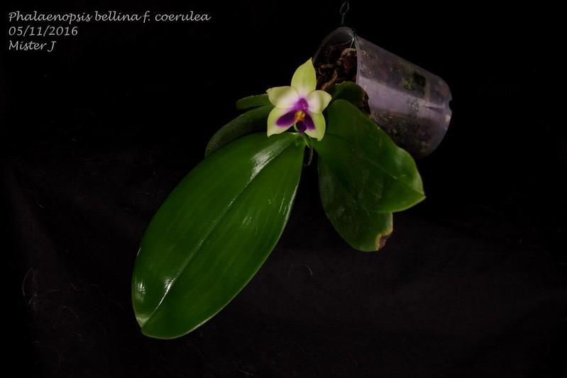 Phalaenopsis bellina f. coerulea 30699143531_fa38a6f07b_c