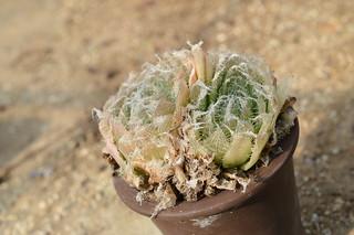 147 Haworthia bolusii var. semiviva  ハオルチア ボルシー セミヒバ