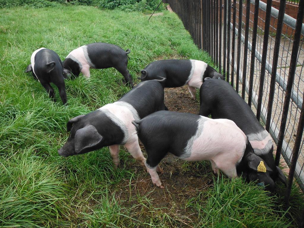 Piglets 9