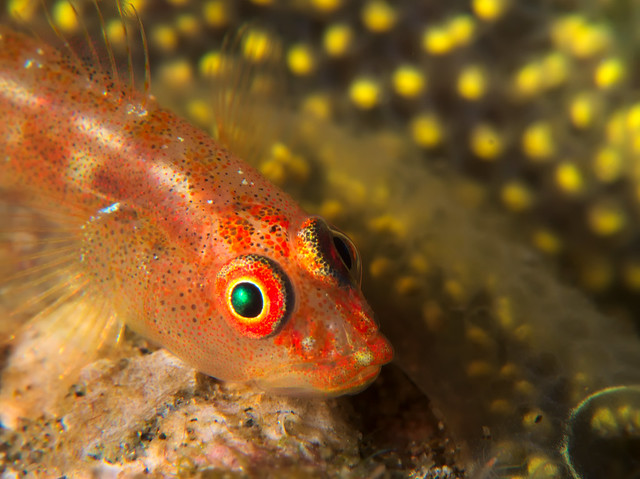 Goby Close Up