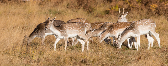 fallow deer 068__418