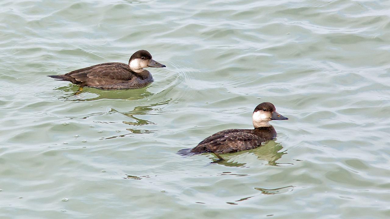 Zwarte Zee-eend ♀ (l) & ♂ (juv) (r)