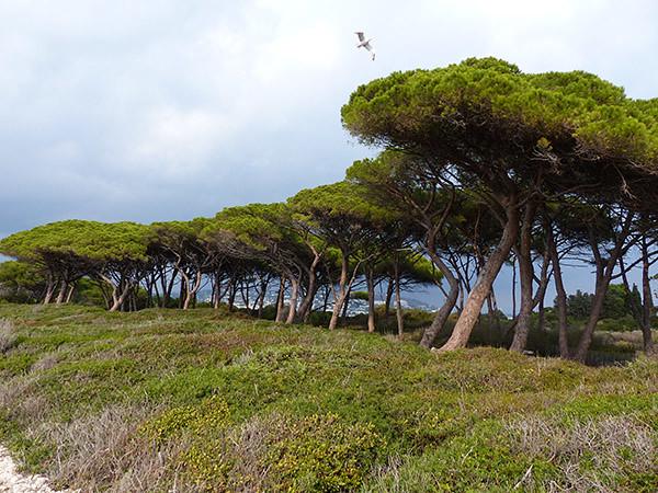 les pins sur Sainte-Marguerite
