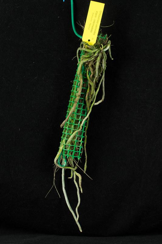 Chiloschista: Blattlose Orchideen  20438465499_85b1fed91a_c