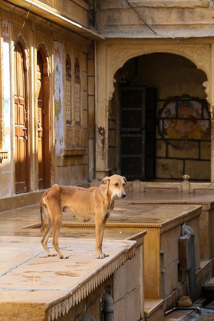 "A street dog in ""Golden City"", Jaisalmer, India ジャイサルメール、黄金の町の野良犬"