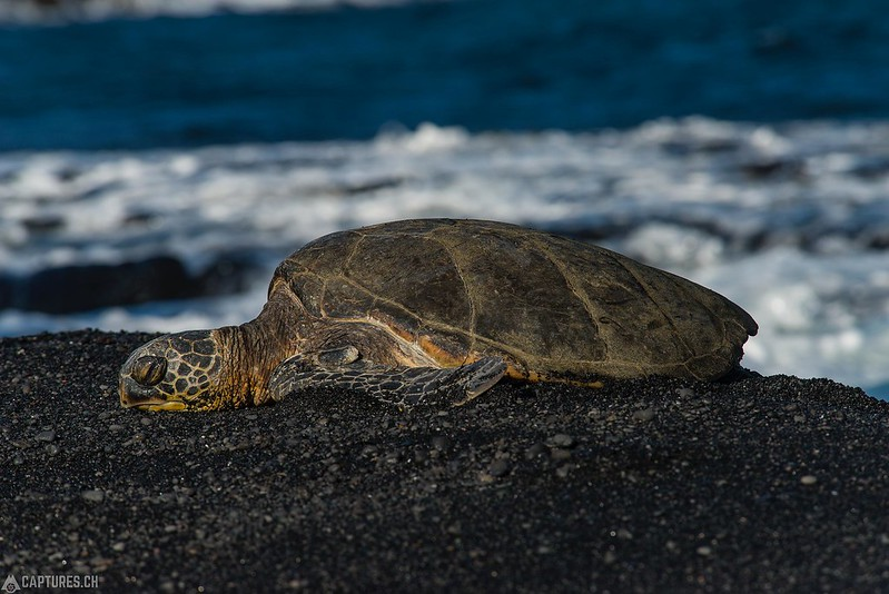 Green sea turtle - Big Island