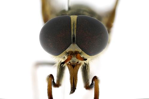 ウシアブ♀ Tabanus trigonus Cocquillet, 1898-1-1