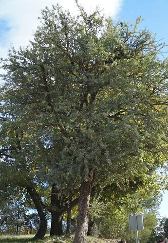 Pyrus spinosa - poirier à feuilles d'amandier 31034670195_e75581b028