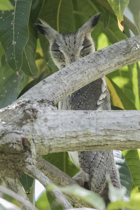 Northern White-faced Owl  Gambia 2016