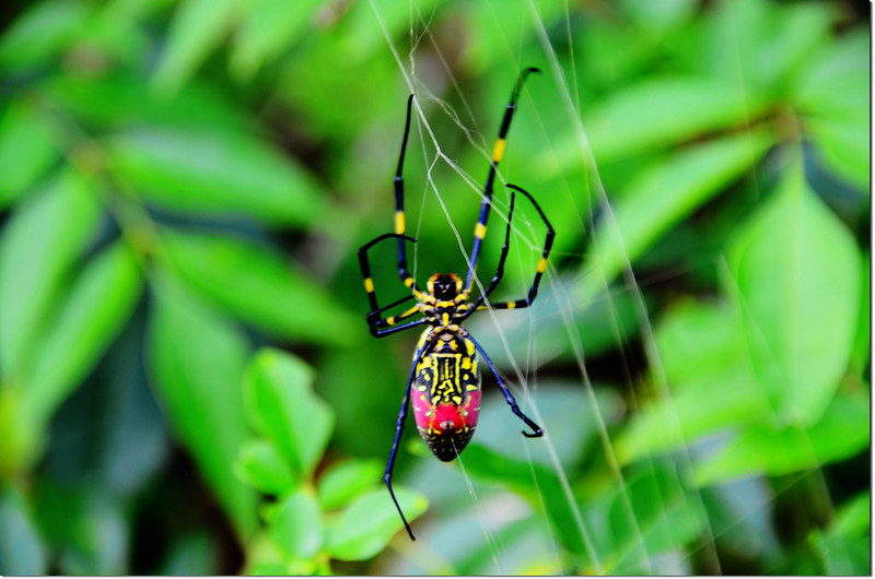鬼臉蜘蛛 4