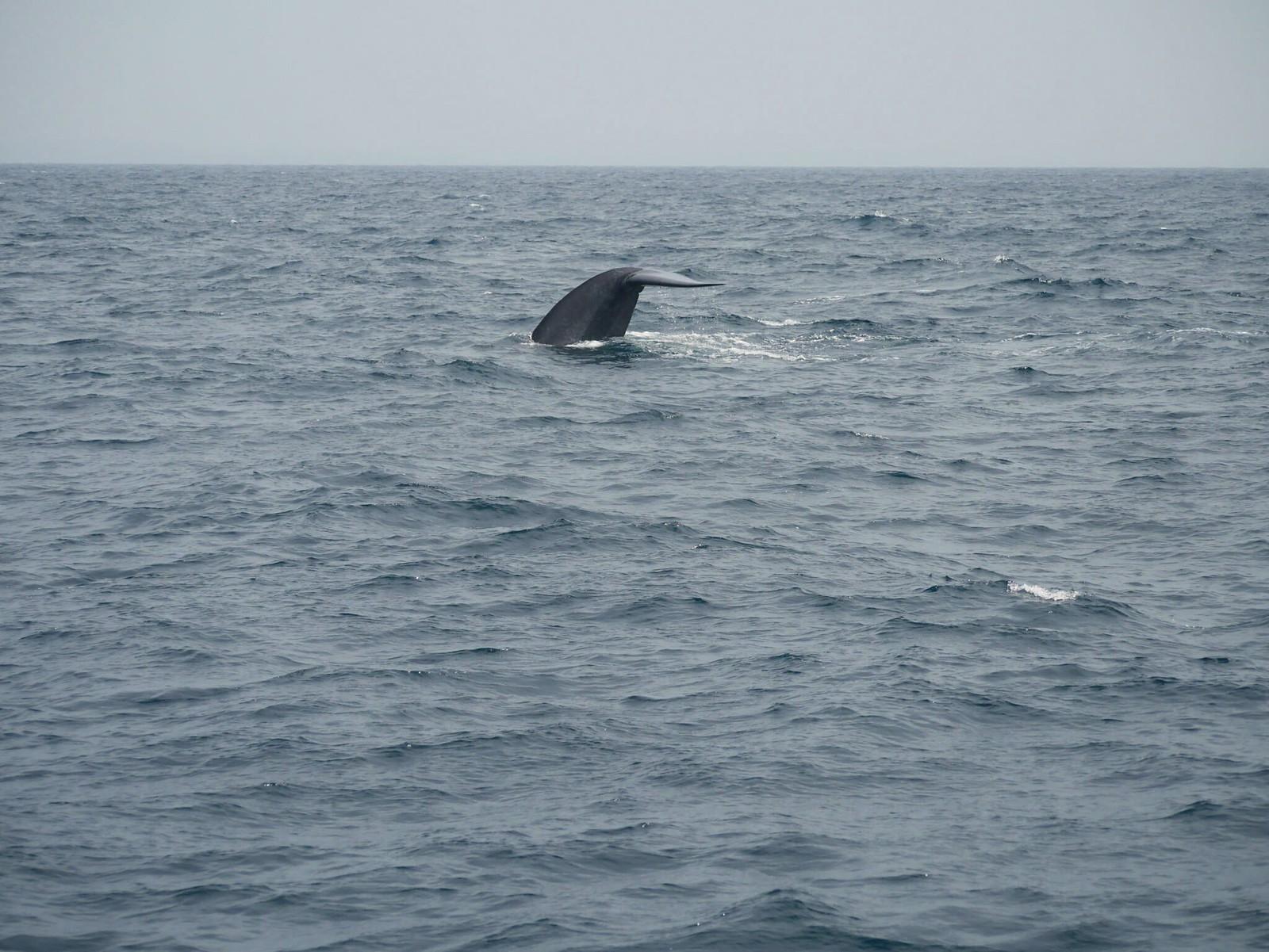 Blue Whale (Mirissa Beach)
