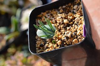 067 Eriospermum alcicorne  エリオスペルマム アルキコルネ