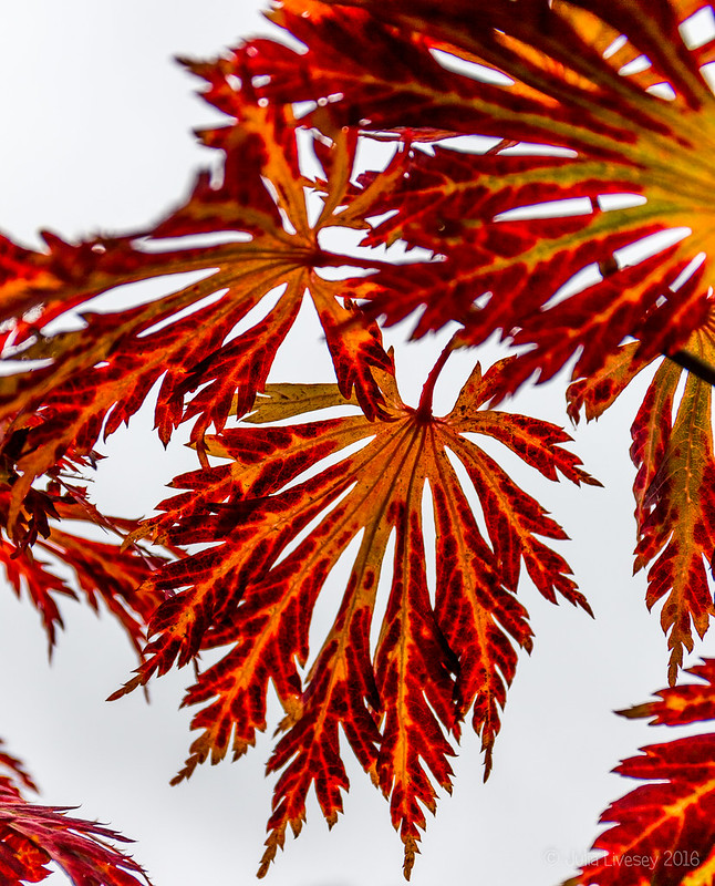 Acer leaves against the sky